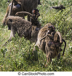 Baboon mother walking through the savannah with its baby on...