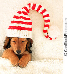 Dachshund puppy - Sleeping dachshund puppy wearing a...