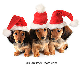 Christmas puppies - Christmas Dachshund puppies wearing...