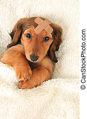 Injured Dachshund puppy - Longhair dachshund puppy wearing a...