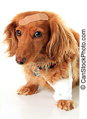 Sick puppy dog - Dachshund dog wearing a bandage and...