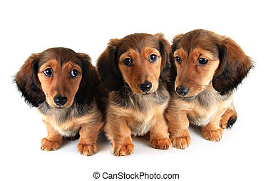 Dachshund puppies - Three Longhair dachshund puppies,...