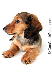 Dachshund puppy - Longhair dachshund puppy isolated on white...