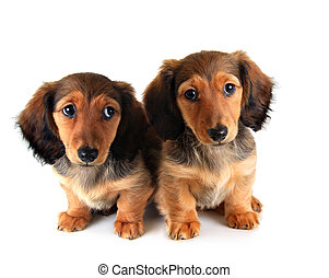 Dachshund puppies - Longhair dachshund puppy and mother,...