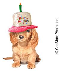 Dachshund puppy - Miniature dachshund puppy wearing a Happy...