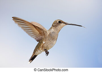 Black-chinned Hummingbird (Archilochus alexandri) - Female...