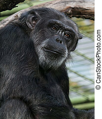 Sad Chimpanzee Portrait - Portrait of a sad chimpanzee...