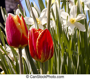 Colorful Spring Tulip - Red and yellow spring tulip flower...