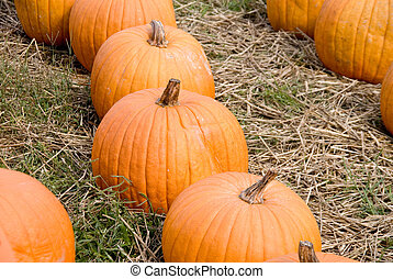 Pumpkins - A large collection of plump and juicy holliday...