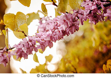 rama, de, Acacia, rosa, vibrante, flores,
