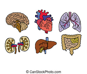 color anatomy organs - vector color anatomy organs on a...