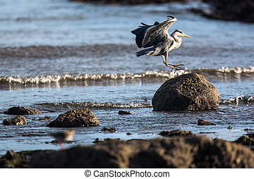 Western Reef Heron (Egretta gularis), image taken in...
