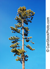 Pine Tree with Trimmed Branches - Graceful pine tree with...
