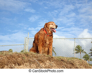 Dog hangs out on top of sand bluff - Golden Retriever Dog...