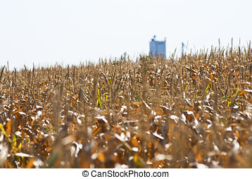 Field of feed corn ready to harvest - Cornfield with grain...