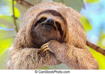 Happy Sloth - baby sloth poses for the camera on the tree