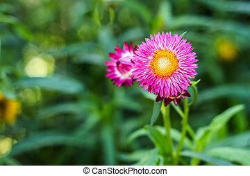 Bracted Strawflower,Paper Daisy,Everlasting Daisy