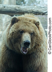 Brown Bear at the zoo - Brown Bear taking a break from its...