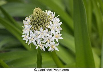 Close up of white scilla peruviana