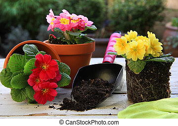 Spring gardening: Primulas - Spring Primula flowers and...