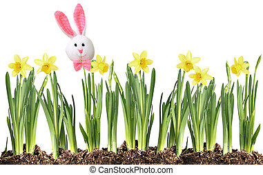 Easter bunny and Daffodils - Easter bunny on a row of...