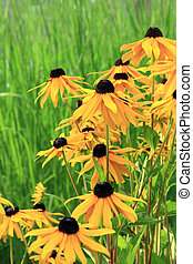 Black eyed susans - Black eyed susan flowers blooming...