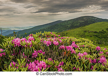 Close up of Rhododendron on Jane Bald - Purple rhododendron...