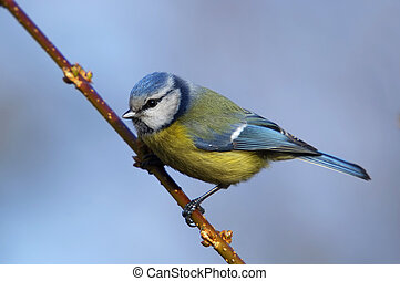 Blue tit - Cyanistes caeruleus sitting on the branch