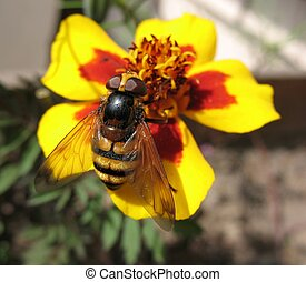Eristalis tenax (hoverfly) on yellow tagetes