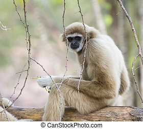 Lar gibbon sitting and looking around