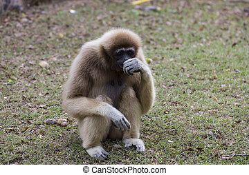Lar gibbon sitting on the ground