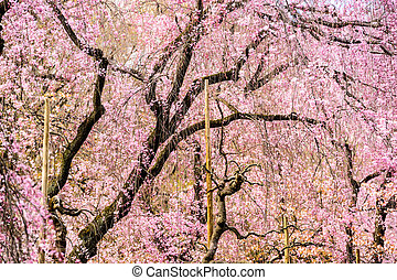 Spring Cherry Trees - Cherry Trees in Kyoto, Japan