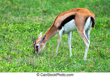 Thompsons gazelle - Wild Thompsons gazelle is grazing in...