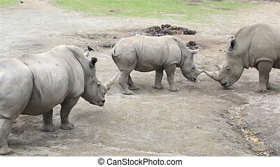 Cub Southern White Rhinoceros with mother and father...
