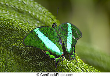 Emerald Swallowtail - Green tropical butterfly sitting on...