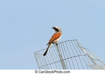 red backed shrike Lanius collurio on wire fence over blue...