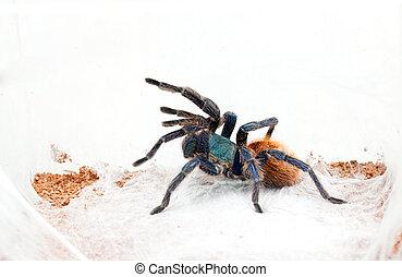 Chromatopelma cyaneopubescens - Beautiful spider tarantula...