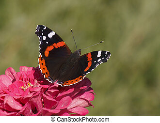 Red Admiral butterfly on zinnia flower