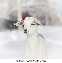 Portrait of baby goat in winter close-up