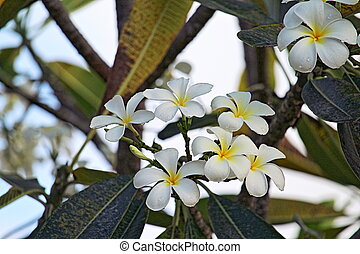 Tiare Flower, South Pacific French Polynesia
