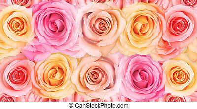 Roses - Beautiful roses in pastel colors on white.