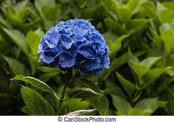 blue hortensia flowerhead - close up of blue hortensia...