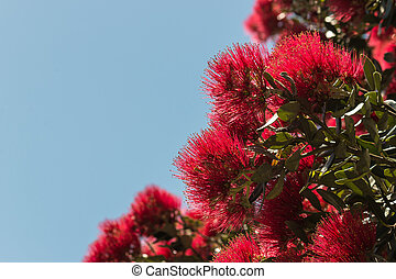 Pohutukawa flowers against blue sk - detail of Pohutukawa...
