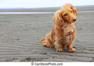 Beach dog - Dachshund on the beach.