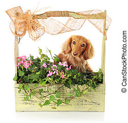 Summer puppy - Summer flowers and a dachshund puppy