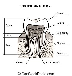 Tooth anatomy - Illustration of tooth anatomy drawn in retro...