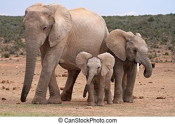 African Elephant Baby - Cute young African elephant with...