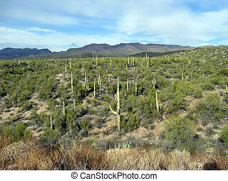 Arizona Cactus Field