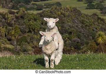 jumpy lambs - close up of two jumpy lambs