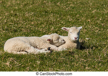 resting lambs - close up of resting lambs